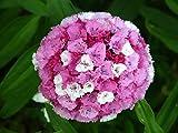 100 WEE WILLIE Dwarf SWEET WILLIAM Mixed Colors Dianthus Barbatus Flower Seeds