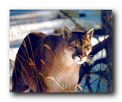 Picture Wall Decor - Wild Cougar in Snow Wildlife Mountain Lion Art Print Poster (16x20)