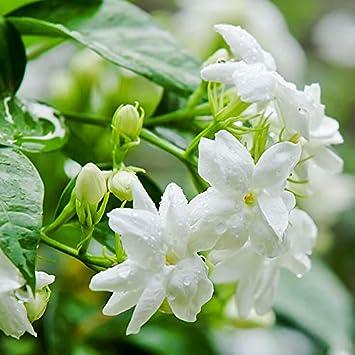 Plants Point Jasmine Natural Live Mogra Flower Plant With Pot