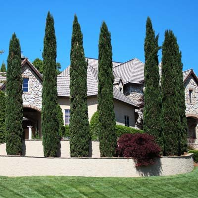 Italian Cypress by Brighter Blooms