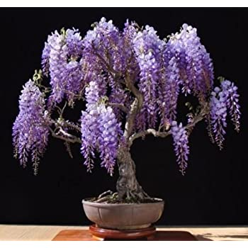 20pcs Rare Japanese Wisteria Bonsai Tree Seeds Potted Flower Seeds Indoor Perennial Ornamental Plants For Diy Home Garden Mimbarschool Com Ng