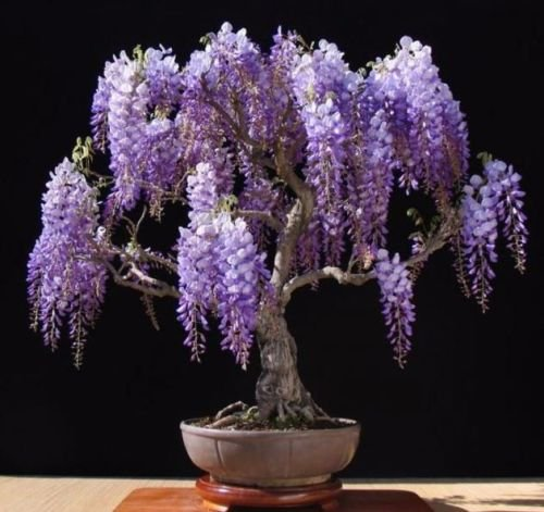Purple Chinese Wisteria sinensis 5 seeds ez grow bonsai (Fragrant Plants)