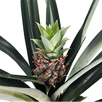 Amazon Com Fruiting Pineapple Plant Ananas Comosus