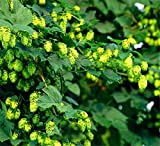100Pcs/Pack Hops Seeds Brew Your Own Beer Today