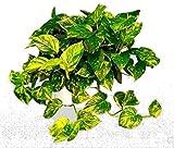 Plant Golden Devil's Ivy Epipremnum Pothos