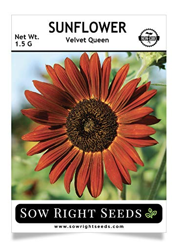 - Sow Right Seeds - Velvet Queen Sunflower Seed for Planting- Full Packet with Instructions, Beautiful Non-GMO Heirloom Flower to Plant, Wonderful Gardening Gift (1 Packet)