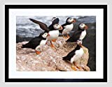 ANIMAL NORTH ATLANTIC PUFFINS Framed Wall Art Wall Picture Frames Wall Decor Pictures for Living Room Bedroom Office 30x40 cm