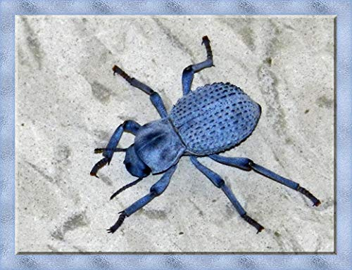 Live Desert Ironclad Beetle - Blue Death Feigning Beetle - Educational and Fun - Easy Care!