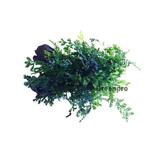 Bolbitis difformis baby leaf fern live aquatic aquarium for Baby fern plant