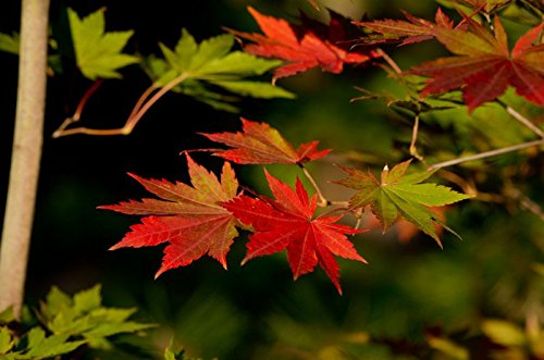 Korean Maple - Tolerates Extreme Cold, Surviving In Climates Where Japanese Maples Cannot, Hardy to -40F - 2 Year Live Plant by Japanese Maples and Evergreens (Image #8)