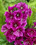 "-Bulk- Mystic Merlin MALLOW-Blue/Purple ""Malva Sylvestris"" 250+Perennial Seeds"