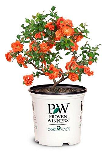 Amazon com: Proven Winners - Chaenomeles Double Take Orange