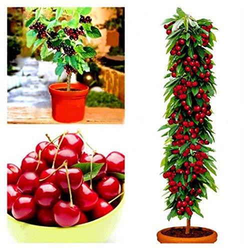 KOUYE GardenSeeds- Cherry Tree Seeds Fruit Bonsai Seeds Dwarf Cherry Tree Seed Planting Delicious Prunus Sweet Edible Fruit Plant Seeds