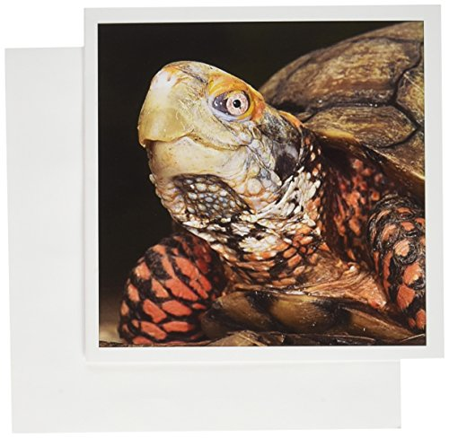 3dRose Mexican Box Turtle - SA13 POX0160 - Pete Oxford - Greeting Cards, 6 x 6 inches, set of 6 (gc_86753_1)