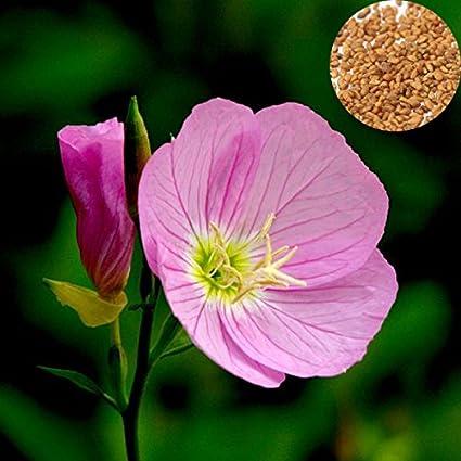 Amazon 1000pcs showy pink evening primrose oenothera odorata 1000pcs showy pink evening primrose oenothera odorata flower seeds mightylinksfo