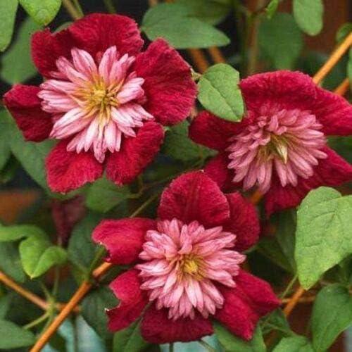25 Doble Rojo Clematis Seeds grande Bloom trepadora perenne del jardín de flores: Amazon.es: Jardín
