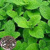 1000pcs Mentha Viridis Seeds Mint Spearmint Spicata Peppermint