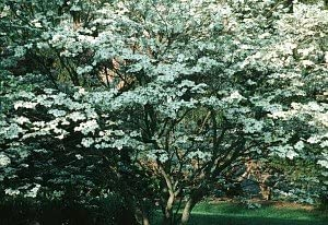 Amazon Com White Dogwood Tree 2 Year Garden Outdoor