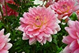 3 Root Divisions of Gerrie Hoek Waterlily Dahlia