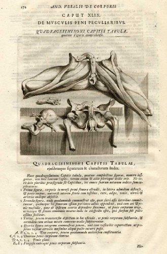 Antique Medical Print-PENI Peculiaris-Vesalius-1725