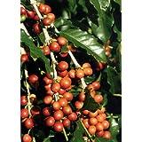 TROPICA - Dwarf Coffee (Coffea arabica nana) - 8 Seeds - Useful Plants