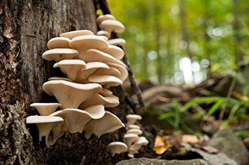 - 50+ Organic Pearl Oyster Mushroom Plug Spawn ~Gourmet Grow Kit ~Log Cultivation
