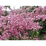 Amazon 25 qt mountain snow pieris evergreen shrub bloom pieris japonica katsura 2 qt mightylinksfo
