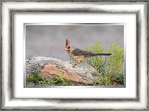 Arizona Cardinals Rocks - Arizona, Amado Female Cardinal Perched on Rock 24x17 Silver Contemporary Wood Framed and Double Matted Art Print by Kaveney, Wendy