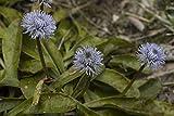 25 Globularia nudicaulis Seeds, Ssp gardensis