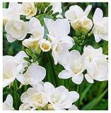 10 Double White Freesia Bulbs - Top Size