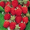 100+ Organic Red Latham Raspberry Seeds - NON GMO - DH Seeds - UPC0687299670710