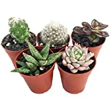 "Instant Succulent Collection - Fairy Gardens/Open Terrarium -5 Plants-1.75"" pots"