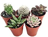 Cactus/Succulent Terrarium/Fairy Garden Plants - 5 Different Plants - 1.75 Pots by Hirts: Cacti & Succulents