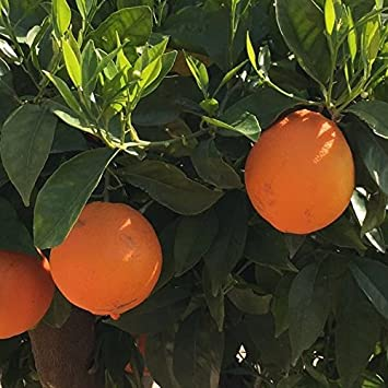 Naranjo - Maceta 22cm - Altura total aprox. 1'30cm. - Planta viva - (Envíos sólo a Península)