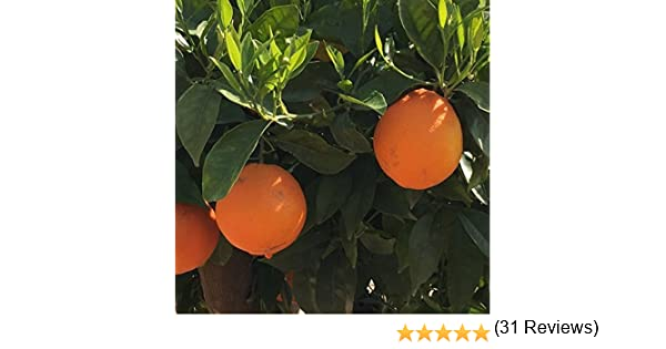 Naranjo - Maceta 22cm - Altura total aprox. 130cm. - Planta viva ...