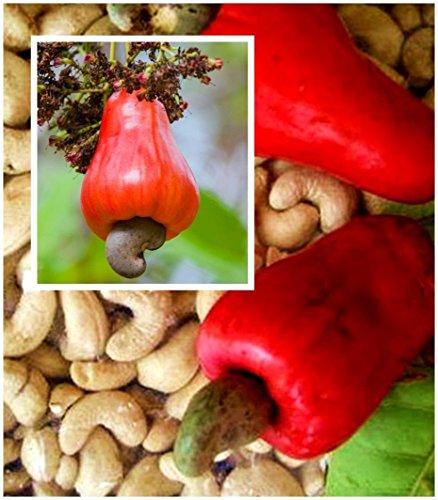 Cashew Apple - Tara-garden 5 SEED ANACARDIUM OCCIDENTALE CASHEW NUT TREE RARE TROPICAL FRUIT PLANT FRESH