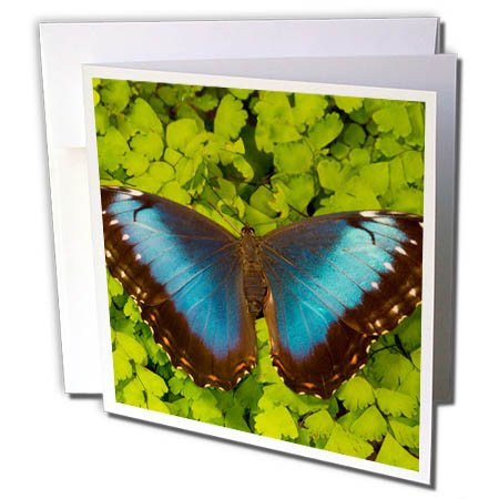 Tropical Wedding Postage (3dRose Danita Delimont - Butterflies - Tropical Butterfly the Blue Morpho, Morpho granadensis, on fern - 6 Greeting Cards with envelopes (gc_278015_1))