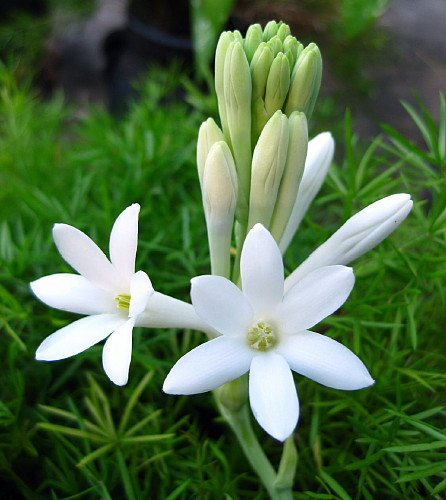 Amazon mexican tuberose 3 bulbs delightful fragrant flowers amazon mexican tuberose 3 bulbs delightful fragrant flowers polianthus flowering plants garden outdoor mightylinksfo Images