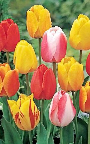 50 Tequila Sunrise Mixture Tulip Bulbs - Tulipa Darwin Hybrid: Super-Sized X-tra Value Bag!! by Daylily Nursery