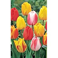 50 Tequila Sunrise Mixture Tulip Bulbs - Tulipa Darwin Hybrid: Super-Sized X-tra Value Bag!!
