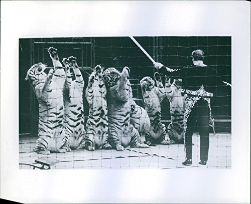 animal trainer inside a cage with seven tigers raising their 2 feet when he lifts the stick his holding, 1970. ()