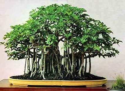 SRUSHTI TRADERS Beautiful Banyan Bonsai Tree Live Plant