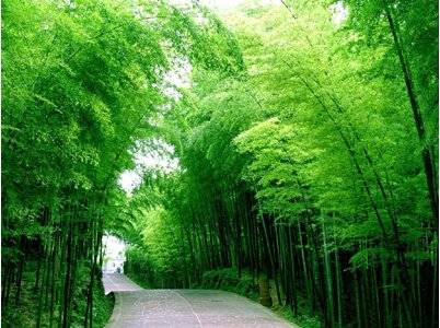 Amazon Com 50 Seeds Chinese Bamboo Seeds Perfect Ornamental Diy