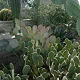 Cutdek Prickly Pear Cactus Mix Seeds (Opuntia Species Mix) 20+Seeds