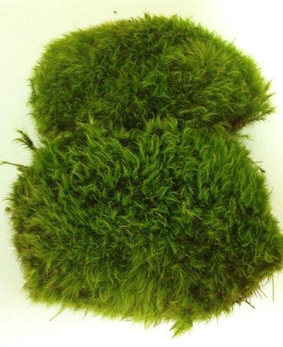 fresh-mood-moss-perfect-for-terrariums-and-bonsai