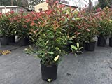 Red-Tipped Photinia, 3 GAL 2.5 3 feet Tall