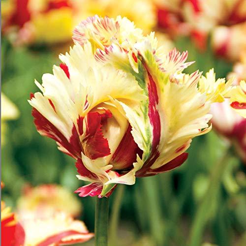 Wayside Gardens Parrot Tulip 'Texas Flame' - Bulb by Wayside Gardens