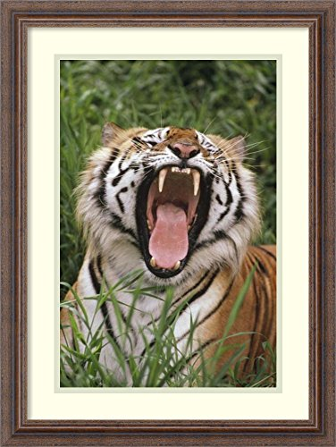 - Framed Wall Art Print | Home Wall Decor Art Prints | Bengal Tiger Yawning, Hilo Zoo, Hawaii by Gerry Ellis | Country Rustic Decor