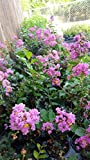 Crape Myrtle Tree - Quart Pot - Approx. 1 foot tall ...
