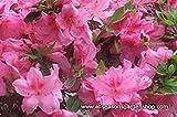 Azalea, SIX plants, Azalea 'Mimi' (Satsuki hybrid), great for bonsai